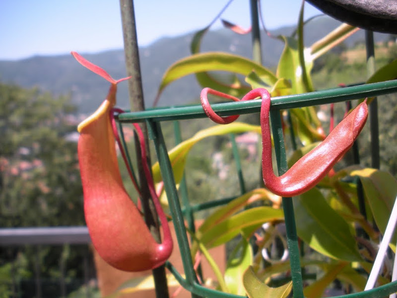 Nepenthes hybrid pitcher