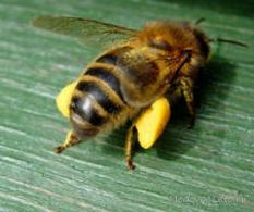 Обножка или цветочная пыльца на лапках пчелы.