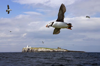 Puffins ont he Farne Islands