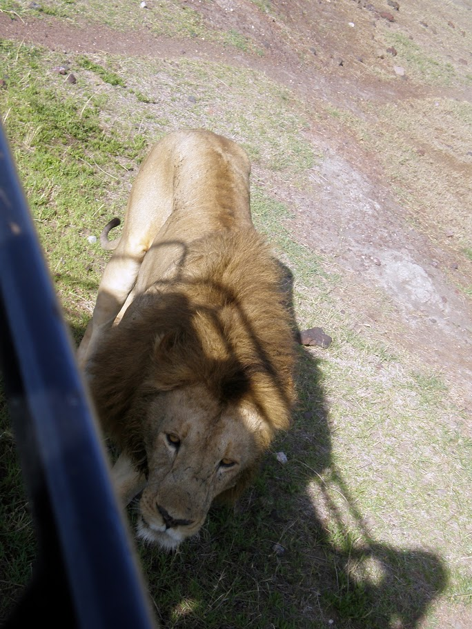 Ngorongoro Crater - Thats a bit too close for comfort to a hungry lion!