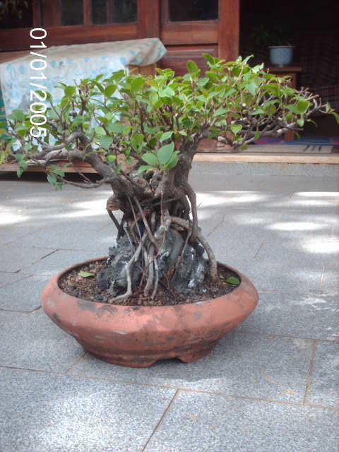 Ficus Microcarpa do Roberto Teixeira... PICT1711
