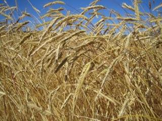 Cereal ecológico