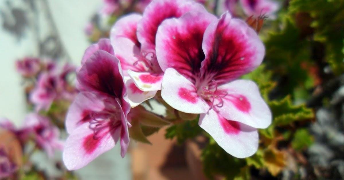El Carpintero Travieso: Rosa sobre blanco