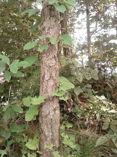 一圈圈缠绕树干的藤蔓