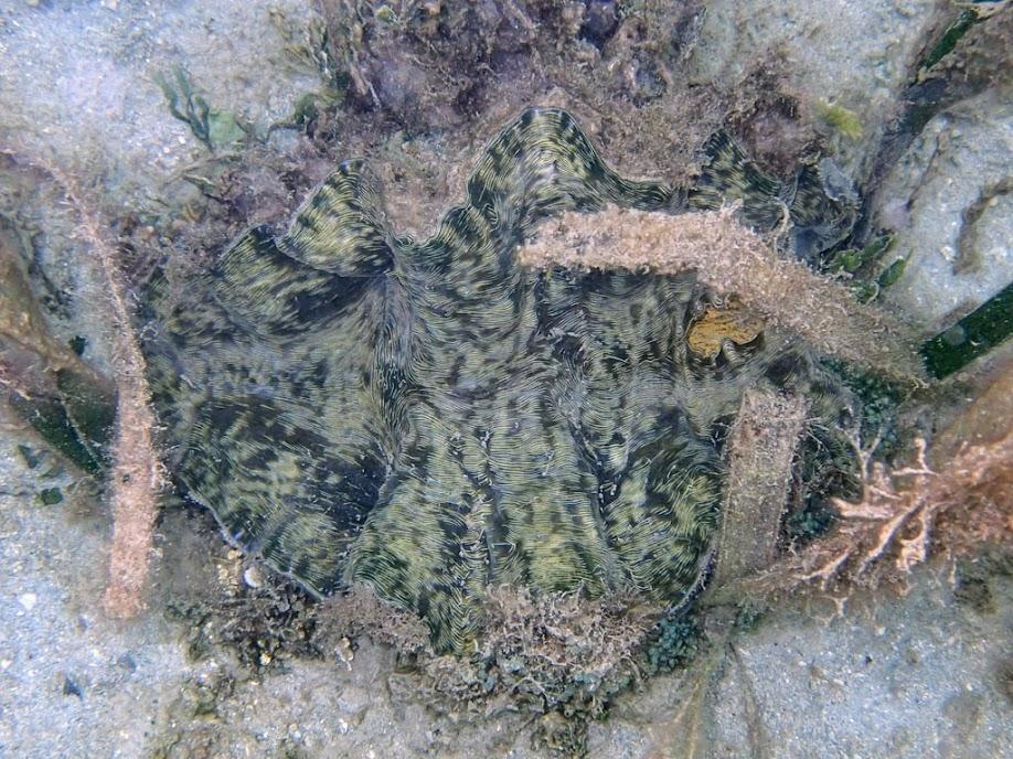 Tridacna derasa (Southern Giant Clam), Chindonan Island, Palawan. Philippines.