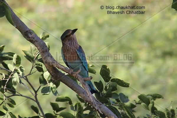 Indian Roller [Coracias Benghalensis] found something