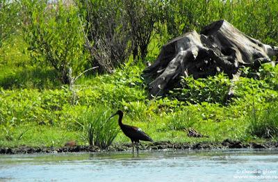 Delta Dunarii - pasari: un țigănuș sau ibis roșu