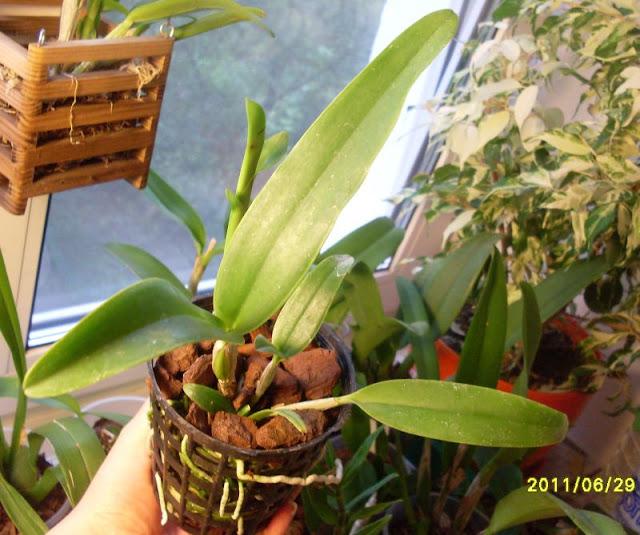 Cattleya aurantiaca  SDC19728