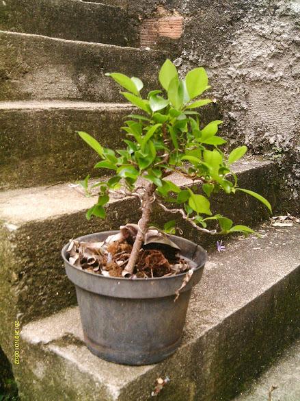 Ficus Microcarpa, finalização Rapida... IMAG0168