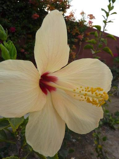 Mes hibiscus et moi...une longue histoire - Page 12 P1030572
