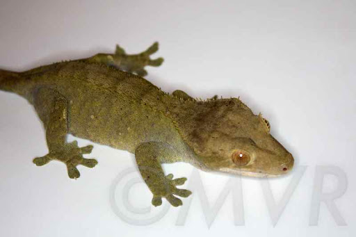 Adult Female Olive Crested Gecko from moonvalleyreptiles.com & Crested Geckos for Sale: Buy Crested Geckos at MVR ... azcodes.com