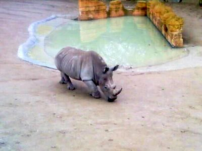 Зоопарк Лиссабона - панцирный носорог фото
