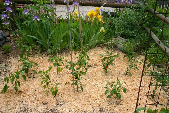 mild peppers in the garden