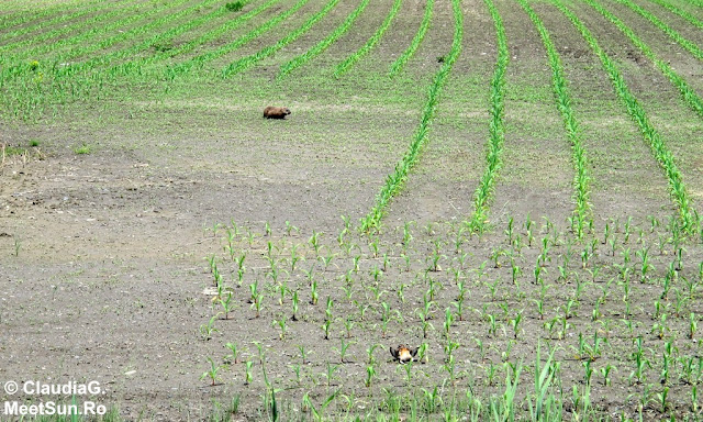 marmota, pasarea si porumbul