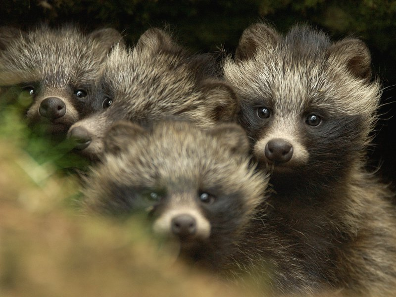 Raccoon Dog Food
