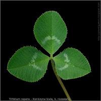 Trifolium repens leaf - Koniczyna biała, k. rozesłana liść