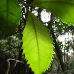 Leaf (52271)