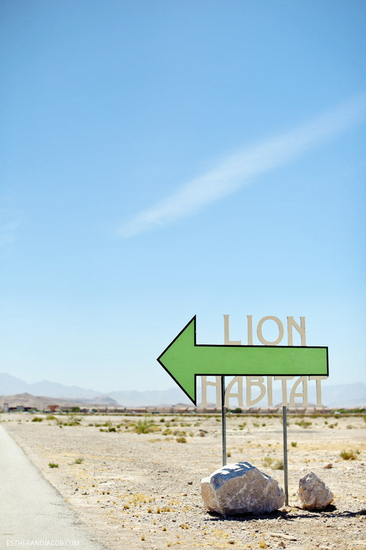 Local Adventure: Lion Habitat Las Vegas with MGM Grand Lions.
