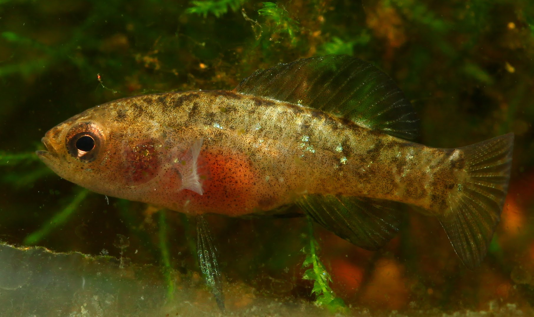 What species of pygmy sunfish do I have? - Pygmy Sunfishes - NANFA ...