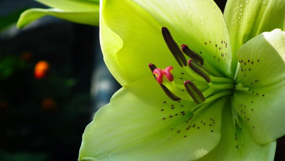 lilie azjatyckie cebule.pl