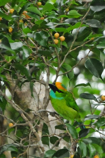 Yellow-crowned Barbet (Megalaima henricii)