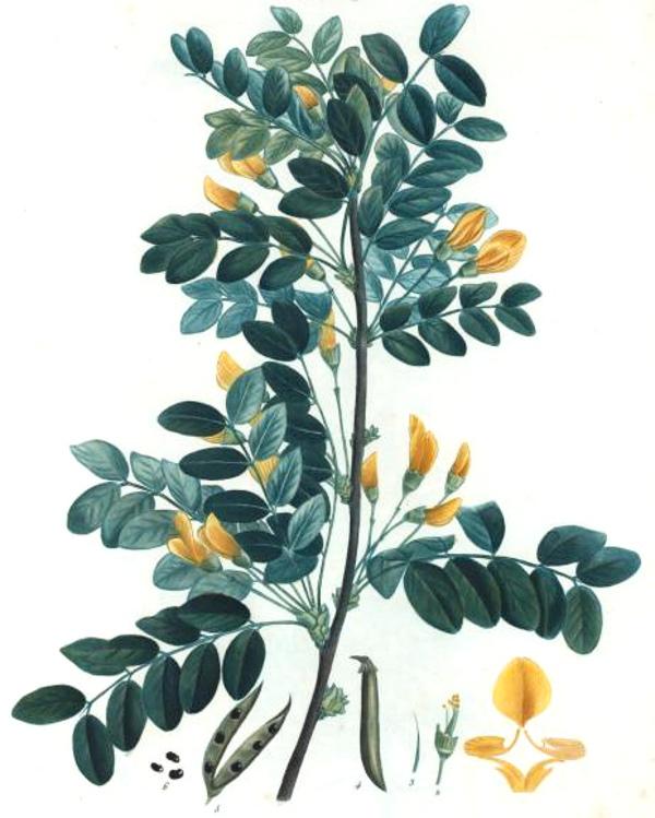 Siberian Pea Shrub Caragana arborescens