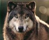 Picture of SIGWolf