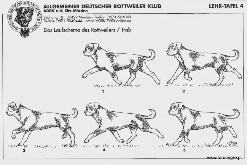 wzorzec idealnego rottweilera w ruchu