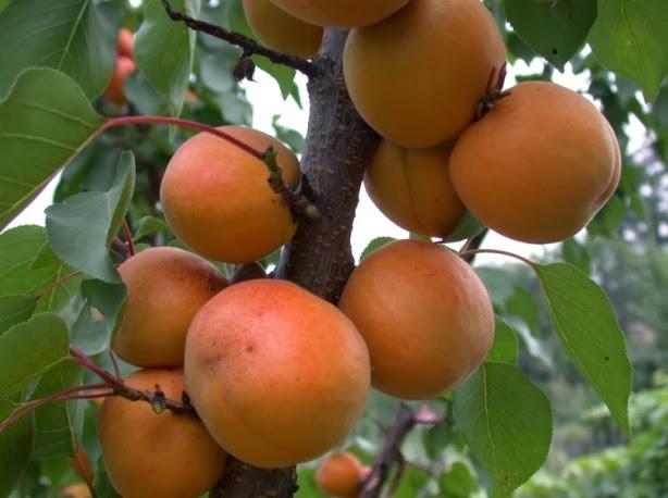 Желтый крупноплодый абрикос купить