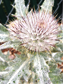 Cirsium occidentale (Cobweb Thistle)
