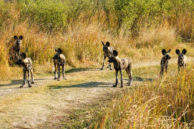Group of Wild Dogs near Xakanaxa Lagoon, Moremi Game Reserve