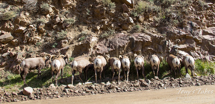 Ten bighorn rams graze on the side of the road in Waterton Canyon, Colorado.  (© Tony's Takes)