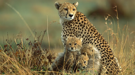 Cheetah Mother and Cubs, Masai Mara National Reserve, Kenya.jpg
