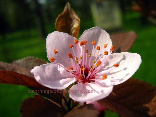Cherry plum blossom-macro photo