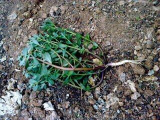 semizotu bitki kök yapısı