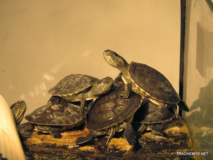 mes tortues (BK) - Page 12 IMG_4062