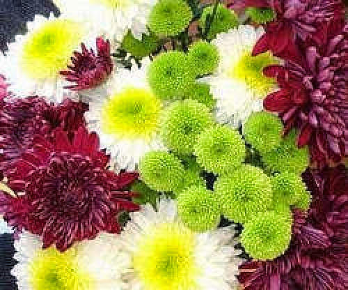 Chrysanthemum Day