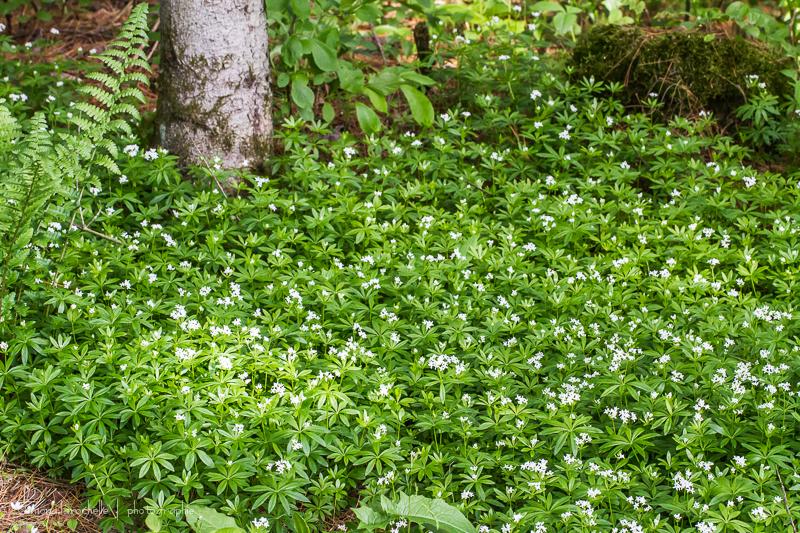 Claytonia sibirica et Asperula odorata des couvre-sols d'ombre efficaces. Asperula-odorata-130603-116rm