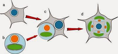 Origen de Chlorarachnion mediante endosimbiosis secundaria