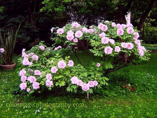 Tree peony pink-Paeonia suffruticosa