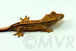 Rhizome - High percentage pinstripe crested gecko from moonvalleyreptiles.com