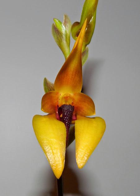 Bulbophyllum carunculatum n2 P1420741