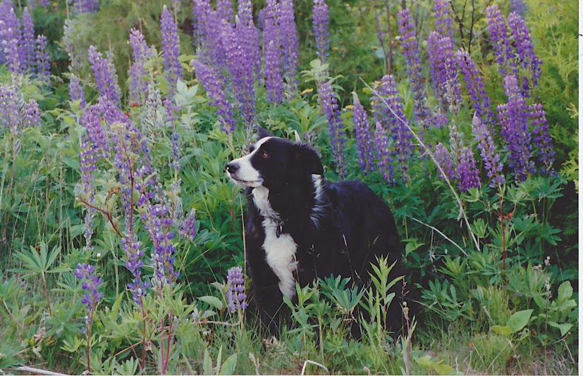 Roopy in the lupine