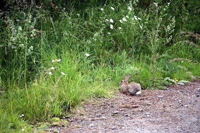Rabbit near the Kirkby Stephen train station in Cumbria England