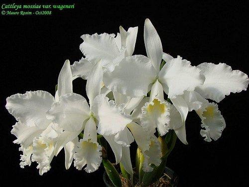 Растения из Тюмени. Краткий обзор - Страница 2 Ca.%252520mossiae%252520var.%252520Wagneri