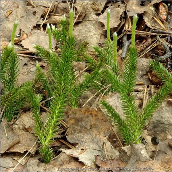 Lycopodium clavatum - Widłak goździsty z majowymi przyrostami