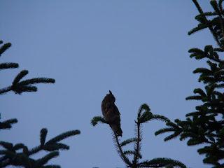 Skovhornugle (Foto: Ole Futtrup)