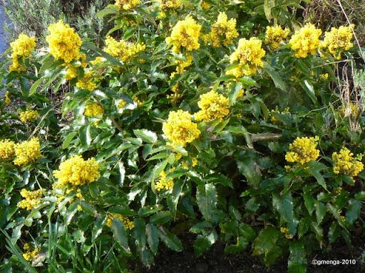 Mahonia aquifolium ( à feuille de houx )