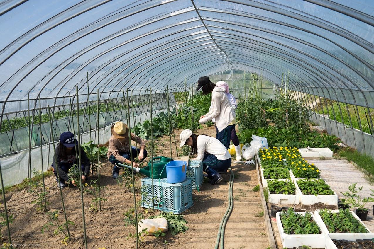 トマトの苗を支柱にひもで結ぶ作業