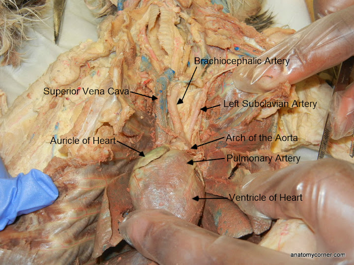 Cat Virtual Dissection (Vessels) | Anatomy Corner